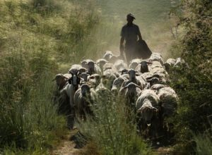Un troupeau avec son berger